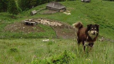 Photo of Tragedie la o stână din Mureş. Copil de 9 ani găsit sfâşiat de câini
